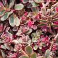 """სედუმი ნიადაგმფარავი """"  tricolor"""" (Sedum Spurium tricolor) ნერგი კონტეინერით"""