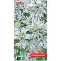 """ეუფორბია """"Молочай (невеста)"""" (Euphorbia marginata ) თესლი"""