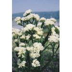 ლიმონიუმი თეთრი (Limonium) თესლი