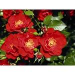 """ვარდი """" PAPRIKA ® """" ( floribunda ROSE PAPRIKA ® ) ზრდასრული მცენარე კონტეინერით"""
