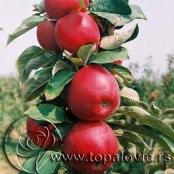 """ვაშლი """"Rumeno Vreteno"""" სვეტისებური ფორმის (COLUMN APPLE Rumeno Vreteno) ნერგი კონტეინერით"""