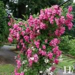"""ვარდი 'SUPER DOROTHY Heldoro"""" (CLIMBING ROSE SUPER DOROTHY Heldoro) ზრდასრული მცენარე კონტეინერით"""