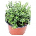 ბეგქონდარა (Thymus Vulgaris) ნერგი კონტეინერით
