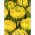 """ტიტა """"Yellow pomponette"""" (TULIPA Yellow pomponette) ბოლქვი 5 ცალი"""
