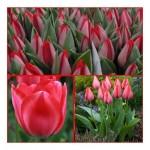 """ტიტა  """"Trick"""" (Tulipa Trick) ბოლქვი 1 ცალი"""
