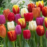 """ტიტა  """" Triumph Mixed"""" (Tulipa Triumph Mixede) ბოლქვი 50 ცალი"""