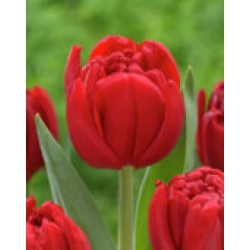 """ტიტა  """"Prince of Marvel"""" (Tulips Prince of Marvel) ბოლქვი 10 ცალი"""