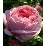 """ვარდი """"VOYAGE ®"""" (HYBRID TEA ROSE VOYAGE ® ) ზრდასრული მცენარე კონტეინერით"""