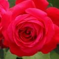"""ვარდი """"ALEC'S RED ®"""" ( ROSE ALEC'S RED ®) ზრდასრული მცენარე კონტეინერით"""