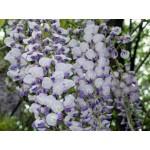 """გლიცინია """"Southern Belle """" (Wisteria sinensis Southern Belle ) ნერგი C2 კონტეინერით"""