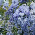 """გლიცინია """"Blue Dream """" (Wisteria floribunda Blue Dream ) ნერგი C2 კონტეინერით"""