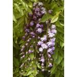 """გლიცინია """" 'Violacea Plena' """" (Wisteria floribunda 'Violacea Plena') ნერგი 5 ლტ. კონტეინერით"""