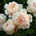 """ვარდი """" wollerton old castlee """" ( ENGLISH ROSE wollerton old castlee) ზრდასრული მცენარე კონტეინერით"""